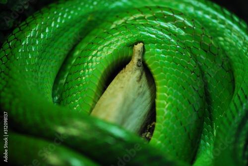 Carta da parati Nice green arboreal ratsnake on branch nature reptile