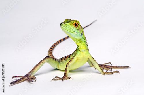 Photographie Jesus Christ lizard / Stirnlappenbasilisk (Basiliscus plumifrons)