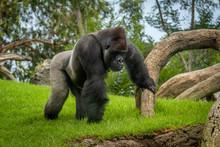 Adult Gorilla In Green Grass