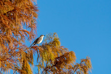 A Northern Mockingbird High Up...