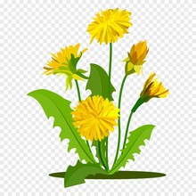 Dandelions With Green Leaves. Summer Yellow Meadow Flower Isolated On White. Vector Illustration