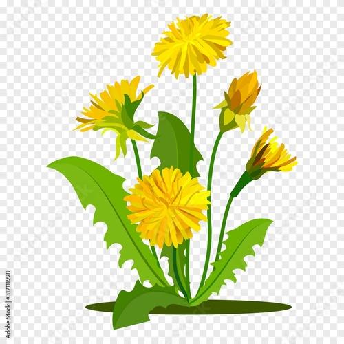 Fototapeta Dandelions with green leaves. Summer yellow meadow flower isolated on white. Vector illustration obraz