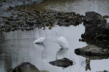 Egret In Water
