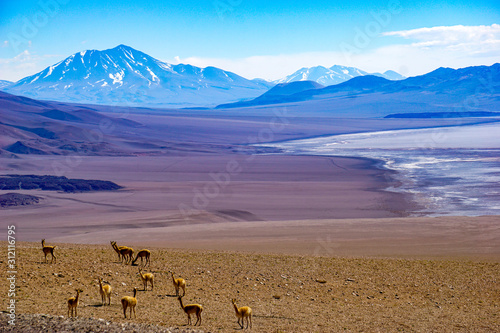 Photo Vicunas and volcanoes surround a salt lake in the high altitude desert of Salta'