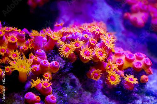 sea anemone Fototapet