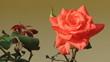 canvas print picture - rosa bella