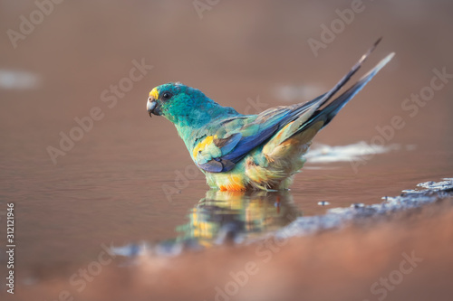 Obraz na plátně  Wild mulga parrot (Psephotus varius) having a drink and bath at a waterhole