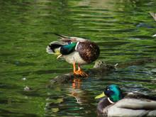 Two Male Ducks In A Lake