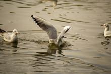 Seagull Landing On A Lake