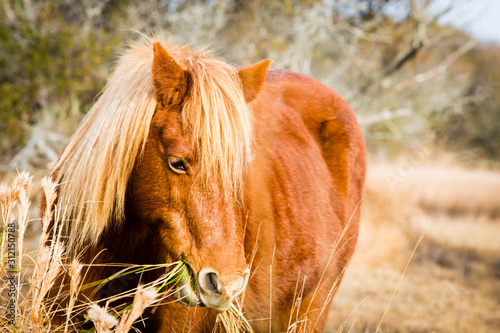wild chestnut brown horse in meadow
