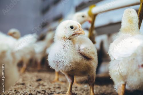 Fotografia little small broiler poultry white chick bird