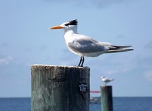 Royal Tern Seabird Sitting On Post