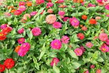 Colorful  Zinnia Elegant Flowers Field.