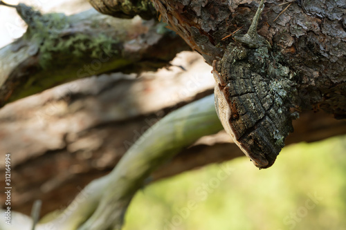 Fotografie, Tablou Polypore, Phellinus pini on pine branch