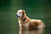 Long-haired Labrador Dog Standing In Guard Position On The Water Awaiting Instruction From Its Master In A River In British Columbia