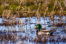 Ducks In A Marsh
