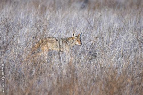 Tela Coyote in a field hunting prey