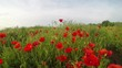 Meadow with wild poppies in bloom