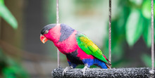 Lory Or Black-capped Lory Head...