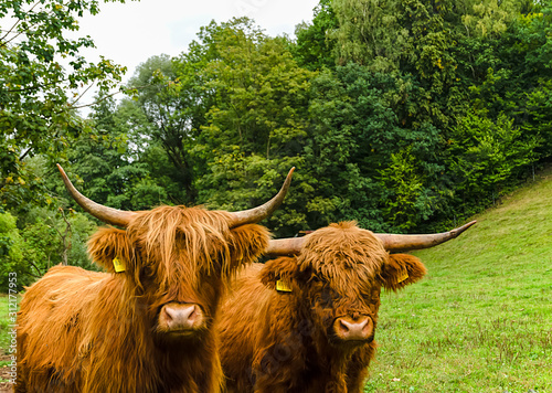 Photo Two Scottish highland cattle on a green meadow