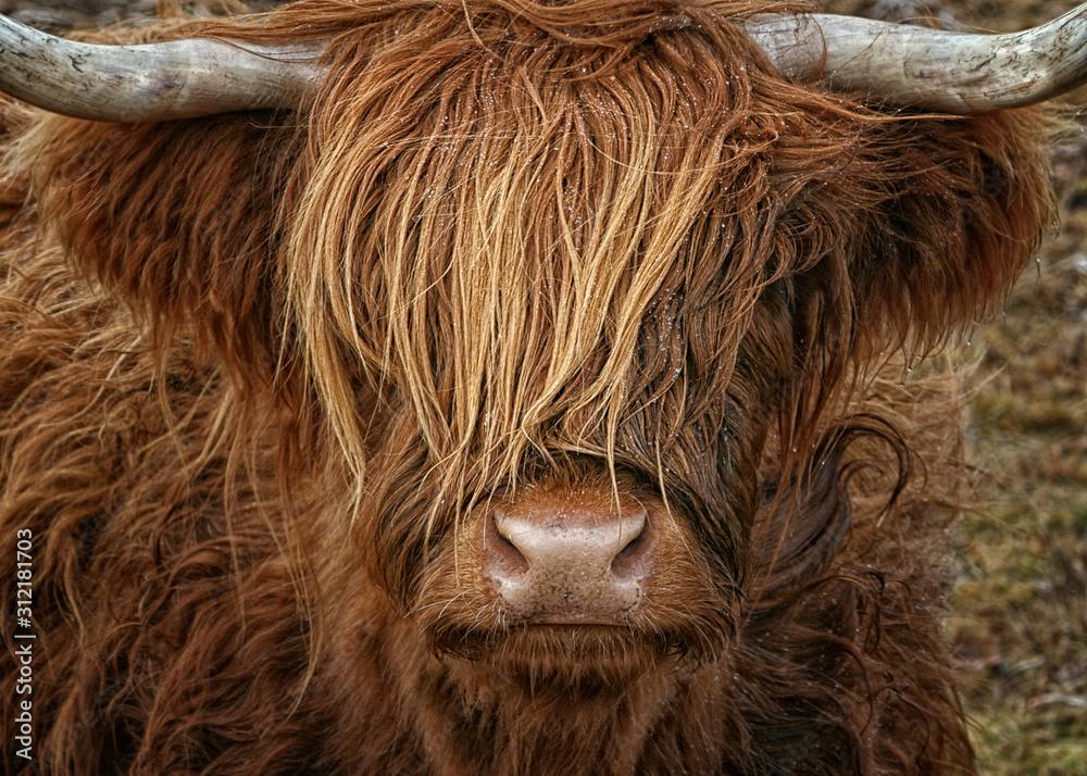 Fototapeta Schottisches Hochlandrind - Highland Cow