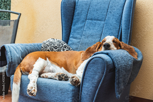 Dog sleeping soundly resting on blue armchair or sofa Canvas Print