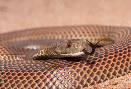 Valokuva Mulga Snake
