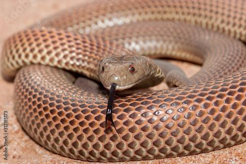 Valokuvatapetti Mulga Snake