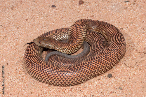 Obraz na plátně Australian King Brown or Mulga Snake