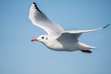 Galeb, albatros, galebova krila, galebovi koji lete iznad mora, galebovi leteći, bijeli galeb, sivi galeb, crvenokljuni galeb, žutokljuni galeb, galebovi koji se utrkuju, galebovi, leteći galebovi, natura