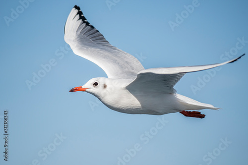 Fotografia Seagull, albatross, seagull wings, seagulls flying above the sea, seagulls soari