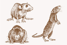 Graphical Vintage Set Of Rats ,vector Sepia Illustration
