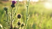 Flowering Plant Milk Thistle I...