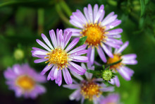 Purple Color Alpine Aster Flow...