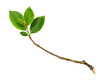 Leinwanddruck Bild - Twig with green leaves
