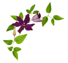 Purple Clematis Flowers And Le...