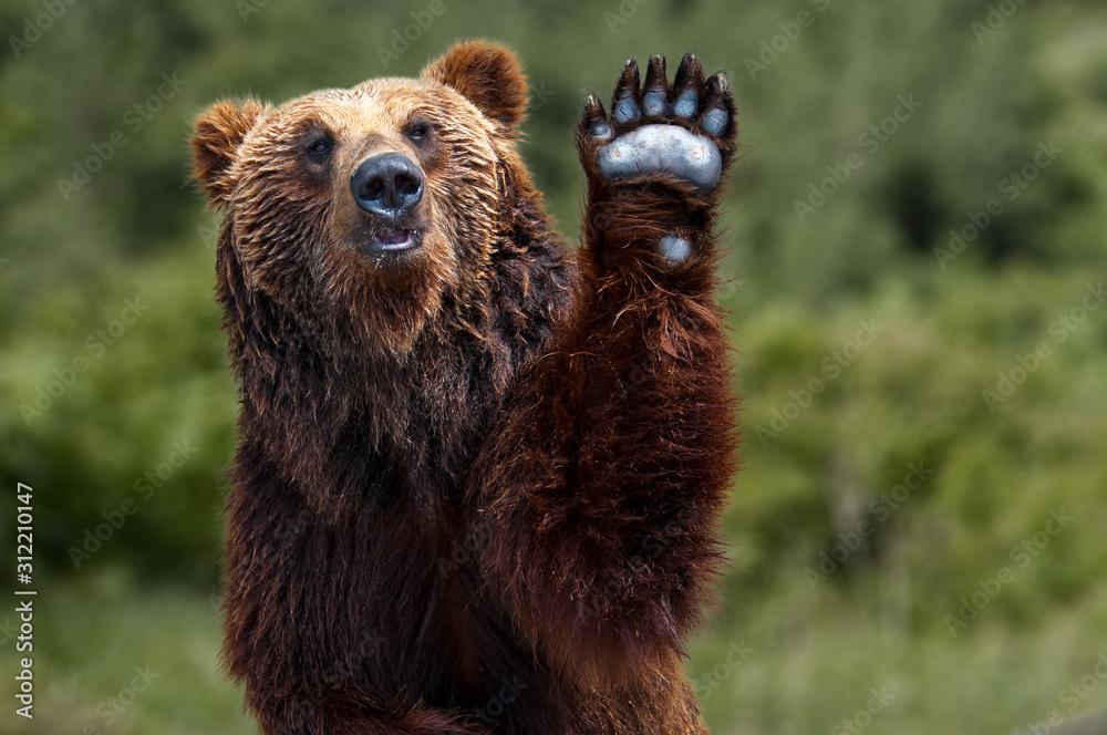 Fototapeta Brown bear Japan