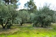 Olive plantation on land with green moss