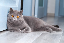 A Beautiful Domestic Cat Is Resting In A Light Blue Room, A Gray Shorthair Cat With Yellow Eyes Looking At The Camera