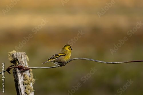 Photo ave pequeña de color amarilla posando en alambrado (Carduelis barbata)