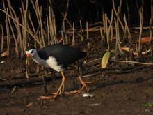 The White-breasted Waterhen (A...