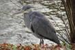 canvas print picture - Ein hübscher Graureiher (Ardea cinerea), auch Fischreiher genannt an einem See am Wasser