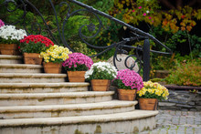 Beautiful Chrysanthemum Flowers In Wooden Pots Decorate The Stairs. Sale Of Flowers