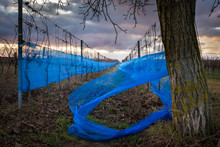 Blue Net At A Vineyard In Burgenland Austria