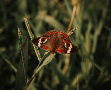 The Common Buckeye Butterfly (...