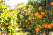 Orange Garden In Sunlight With...