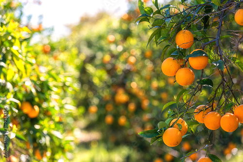 Fotografiet Orange garden in sunlight with ripe orange fruits on the sunny trees and fresh green leaves