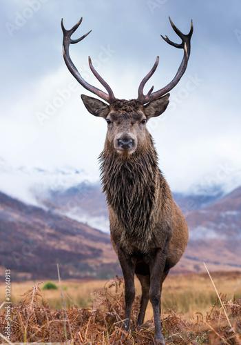 Fototapeta Monarch Of The Glen