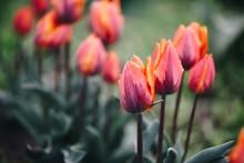 Beautiful Tulips In Spring Col...