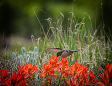 Hummimgbird Hovering Above Indian Paintbrush Flowers